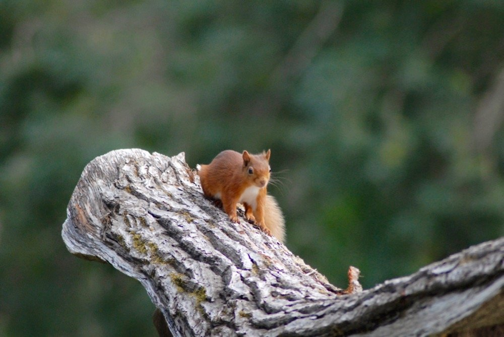 Red Squirrel are spotted at Ace Adventure Ace Hideaways